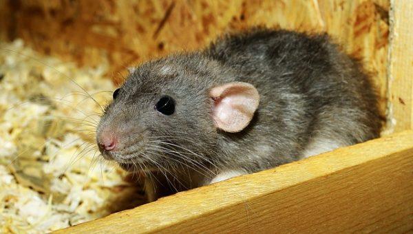 Мій домашній щур